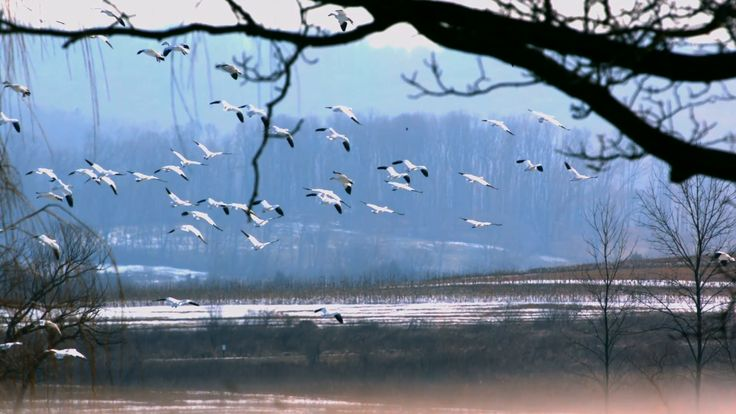 Snow Goose Migration Update February