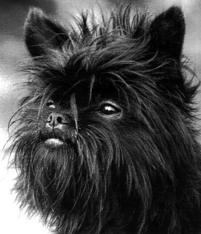 LOOK AT THE FACE ON THIS AFFENPINSCHER