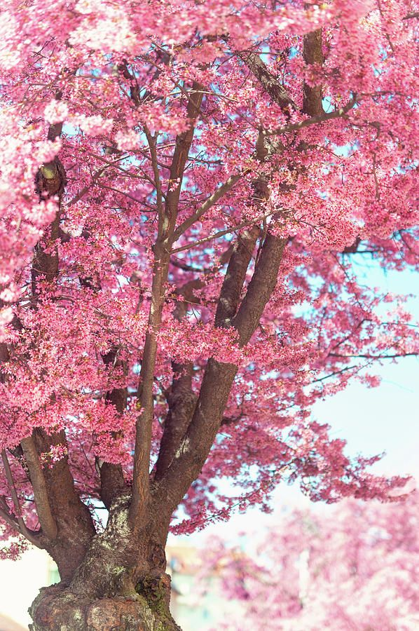 Pink Prunus Tree In Abundant Bloom by Jenny Rainbow