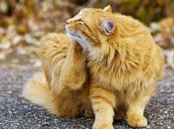 Vlooien kunnen zich makkelijk voortplanten. De vlooieneitjes komen in vloerbedekking en kunnen later weer op de kat springen. Kammen er regelmatig stofzuigen.