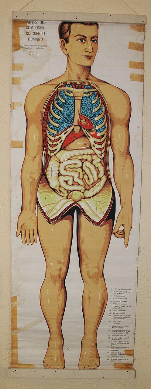 Grafico medica originale d'epoca  organi interni di Casarama