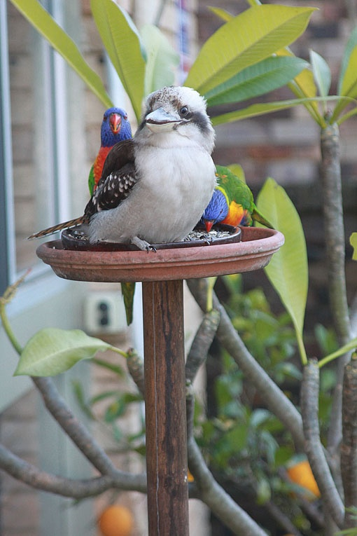 Kookaburra with Lorikeets Are they really that big? Yes