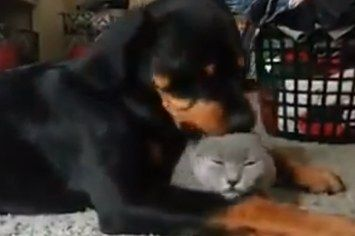 This Sweet Rottweiler Loves A Cat More Than You Love Anything -look at this dumb baby I love it