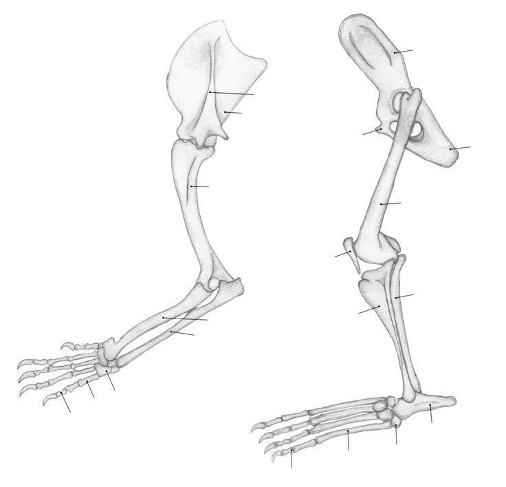 File:Panthera leo limbs.png