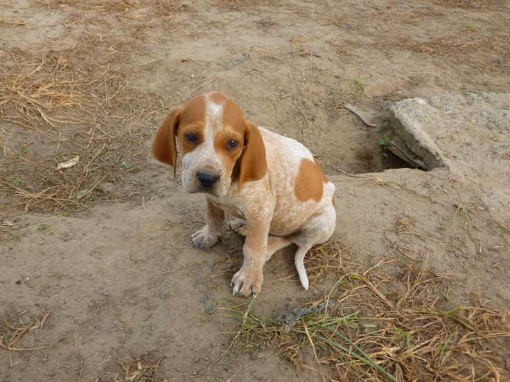 red tick coonhound | Coonhound puppy photo and wallpaper. Beautiful English Coonhound ...