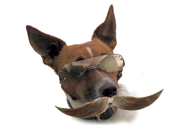 Buster D4DOGZ CEO thought he would grow a moustache last movember, what do you think does it suit him? pinned with Pinvolve
