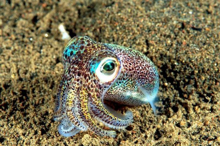 Bobtail Squid cute as ever