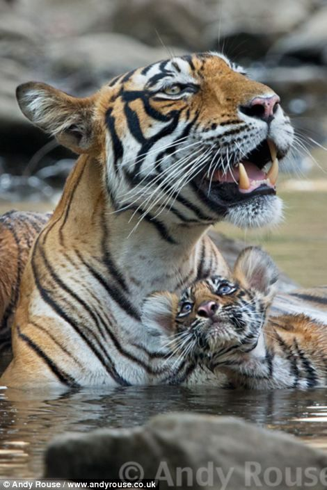 INDIA:  Bengal tigers in India...