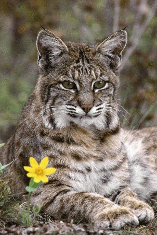 25+ best ideas about Bob cat on Pinterest | Cat bobcat ...