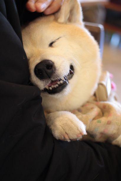 Shiba smile