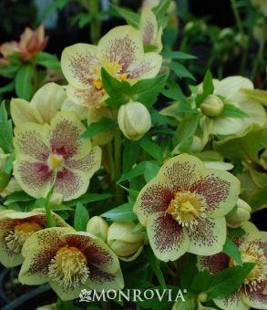 Winter Jewels™ Golden Sunrise Lenten Rose (Helleborus Golden Sunrise) : Late Winter/Early Spring Blooms.  Shade perennial