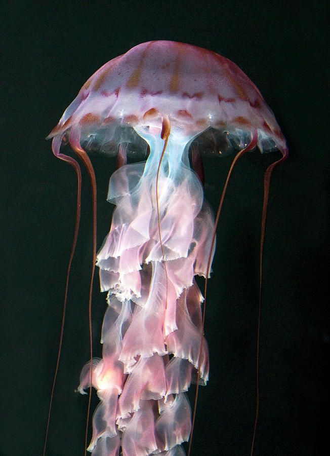 juvenile purple striped jellyfish  ;)