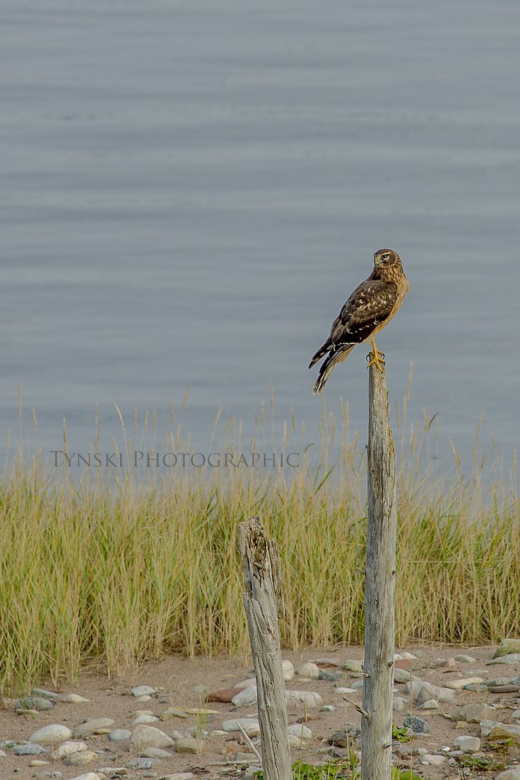 Posted Northern Harrier