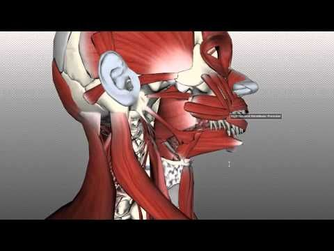 Neck Muscles Anatomy - Posterior Triangle, Prevertebral and Lateral Muscles - YouTube