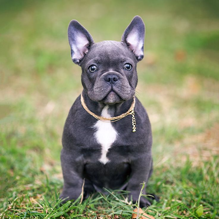 17 best ideas about french bulldog for sale on pinterest french bulldogs bull dog and blue. Black Bedroom Furniture Sets. Home Design Ideas