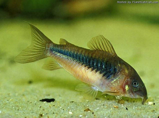 Corydoras Catfish Care Related Keywords & Suggestions - Corydoras ...