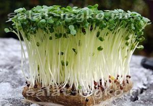 Круглогодичное выращивание кресс-салата на подоконнике