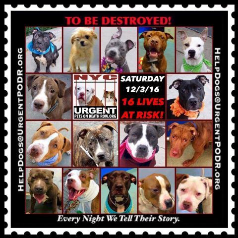 "16 BEAUTIFUL LIVES TO BE DESTROYED 12/03/16  @ NYC ACC **SO MANY GREAT DOGS HAVE BEEN KILLED: Puppies, Throw Away Mamas, Good Family Dogs. This is a HIGH KILL ""CARE CENTER"" w/ POOR LIVING CONDITIONS.  Please Share:    To rescue a Death Row Dog, Please read this: http://information.urgentpodr.org/adoption-info-and-list-of-rescues/"