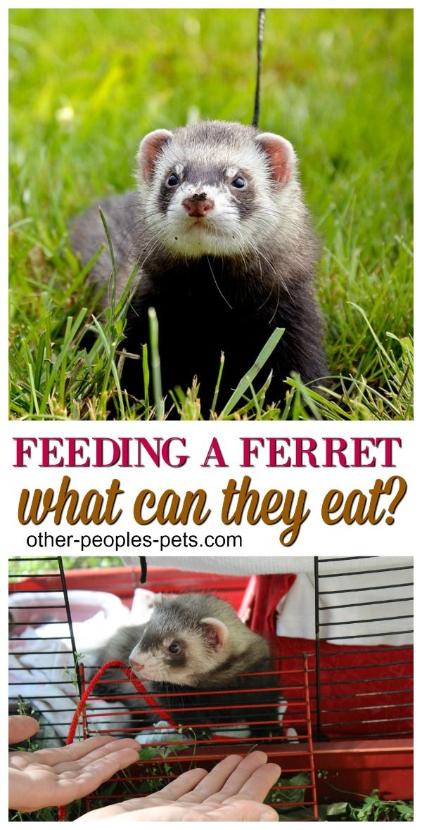 Foods Ferrets Can Eat You May Not Know About Other People S Pets Ferret Cute Ferrets Pet Ferret