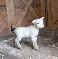 Goose Creek Valley Farm - Home of Registered Babydoll Southdown Sheep