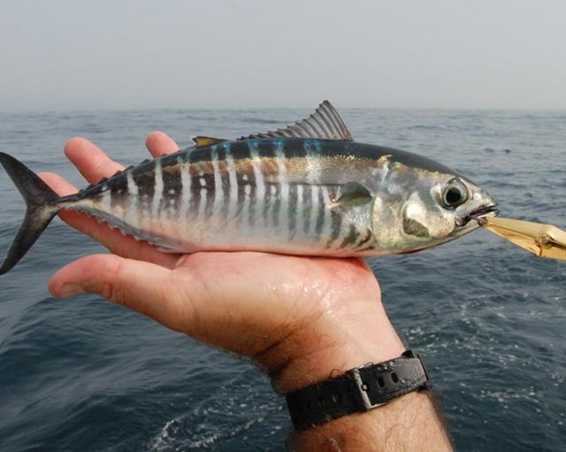 Baby bluefin tuna fishing pinterest babies and tuna for Bluefin tuna fishing