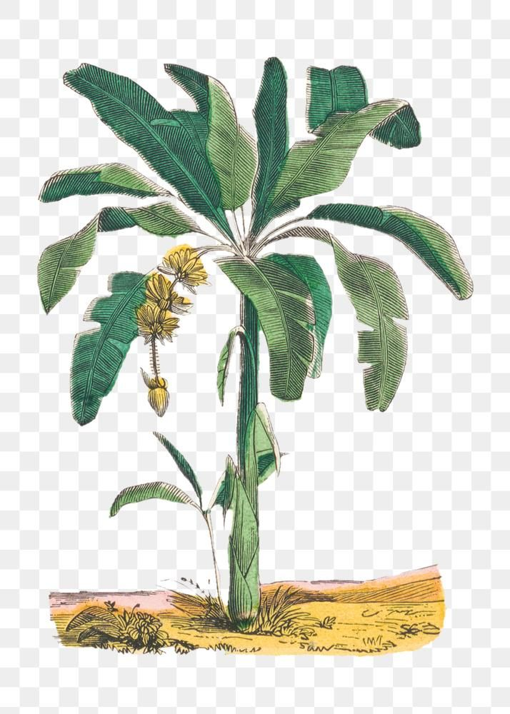 Banana Tree Png Botanical Art Print Remix From Artworks By By Marcius Willson And N A Calkins Free Image By Rawpixel C Botanical Art Art Prints Banana Tree