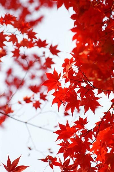 Maple leaves..FALL