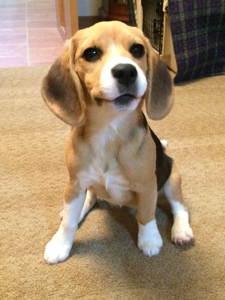 Sweetness Looks Like She Could Talk Cute Beagles Beagle Puppy
