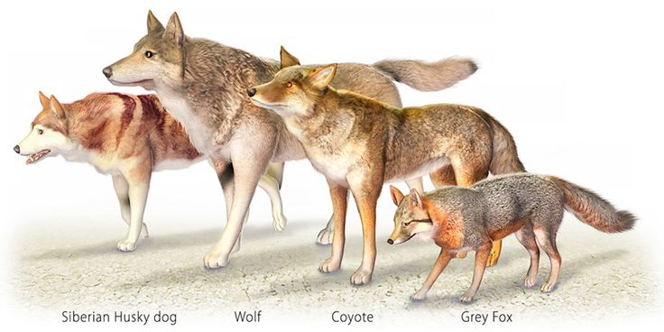Size comparison: husky, wolf, coyote, grey fox | The Great ...