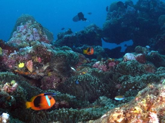 Hideaway Island Marine Reserve: Snorkelling Clownfish Colony - Port Vila Vanuatu