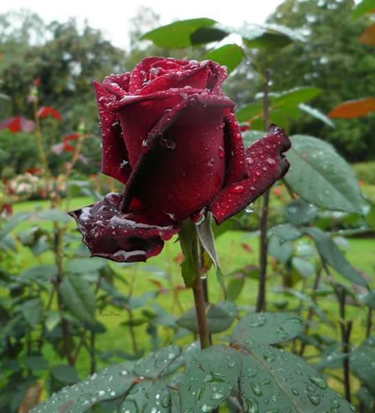 Προστατευτείτε από την αρνητική ενέργεια κάποιου με την τεχνική του τριαντάφυλλου!   Αν τυχαίνει ...