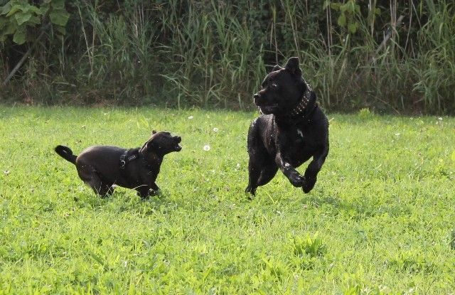 Lulu chasing Adone / Un Cane Corso di Corsa!