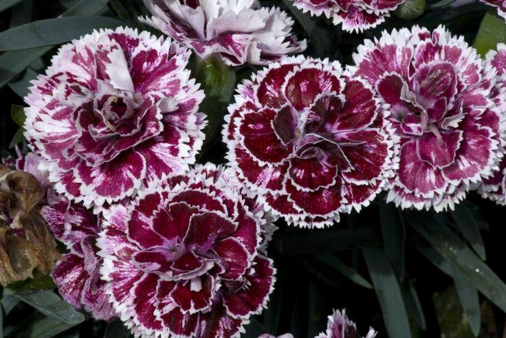 dianthus caryophyllus 39 supertrouper sissy 39 01 flowers pinterest photos dianthus. Black Bedroom Furniture Sets. Home Design Ideas