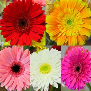 GERBERA EXQUISITE COLLECTION - Garden Express