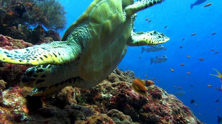 Морская черепаха. (SeaTurtle.)