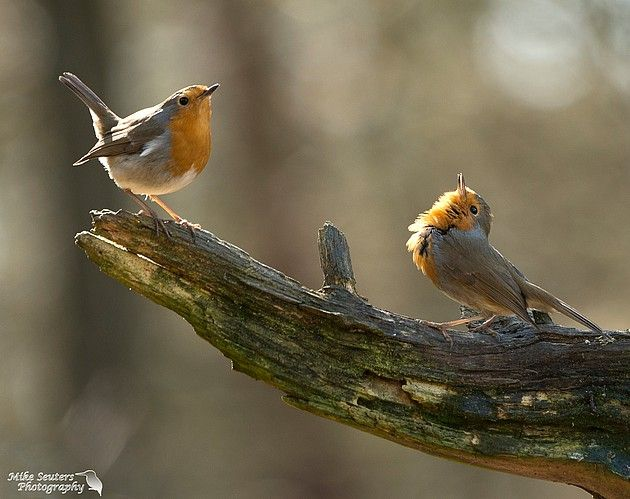 Springtime - Twee roodborstjes die de lente in de bol hebben