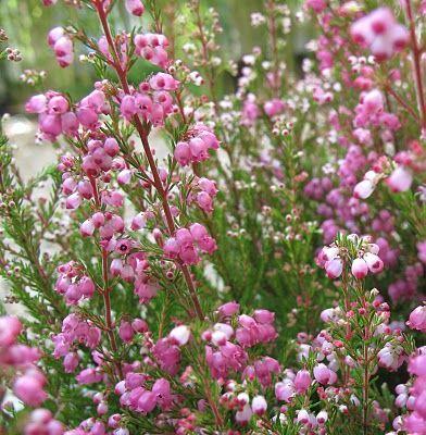 pintando plantas: Erica gracilis