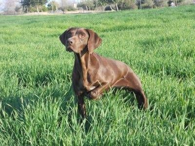 Descubre la raza de perro braco alemán de pelo corto