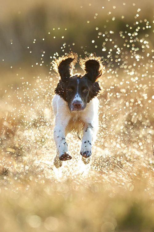 followthewestwind:    _IV_4114 (by John MacT)  Springer spaniel