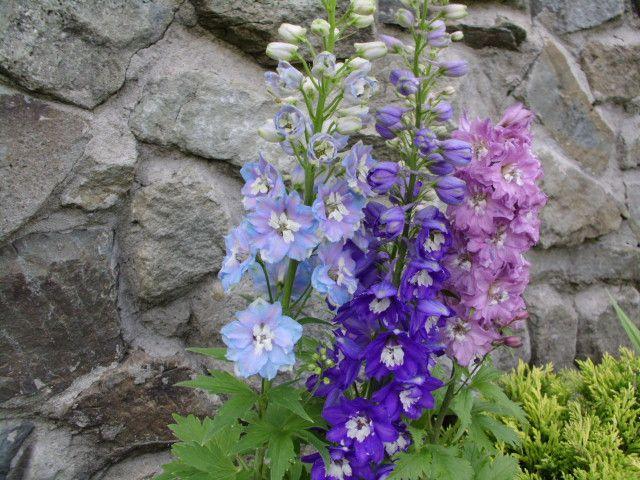 Rośliny i ogród, Ogródek w Beskidach - A to miała być błękitna ostróżka .