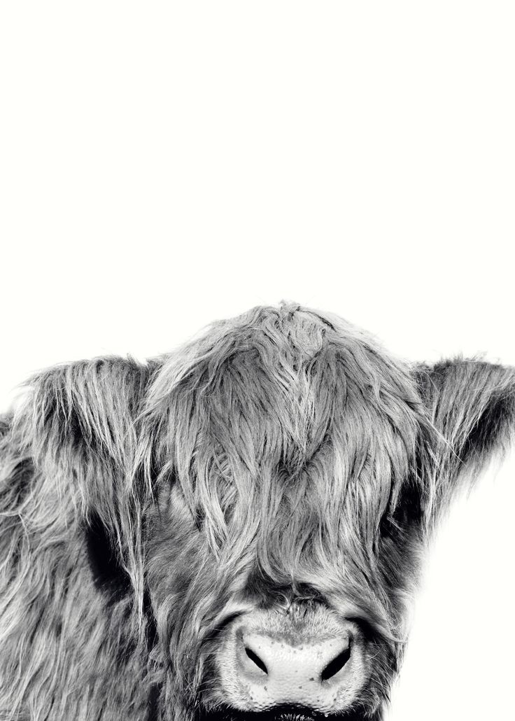 #Highland Cow - Fine Art Print This is a fine art photograph printed on superior quality 220 gsm paper. A high quality,  Fine Art Paper offers a professional, conservation-quality natural white art print with a lightly textured ...