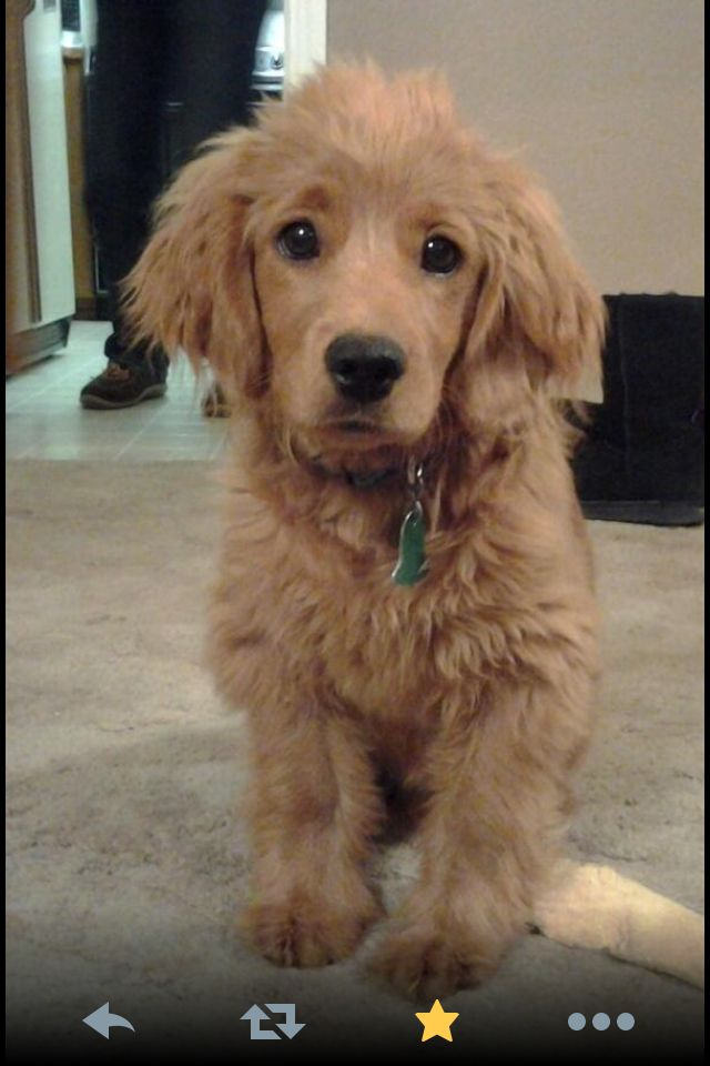golden cocker spaniel puppies fluffy friends pinterest golden cocker retriever full grown soooo cute