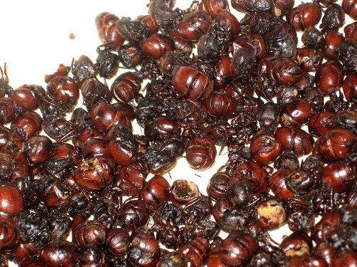 Hormigas culonas  de Santander.