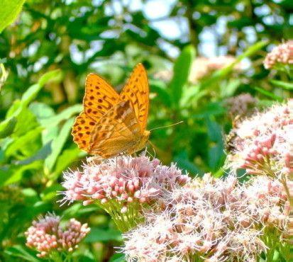 Ein Distelfalter sitzt auf einer Blüte.