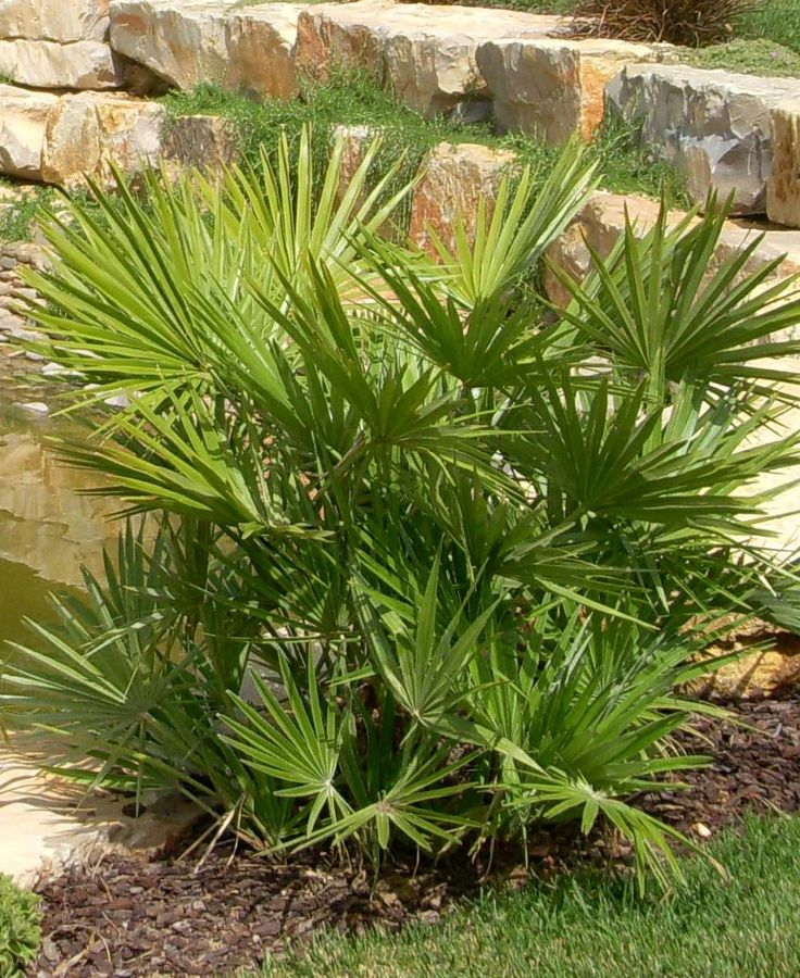 18 best structural shrubs or small trees images on for Structural plants for small gardens