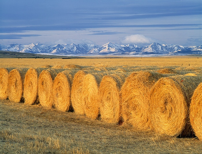 Round Bales near Pincher Creek Alberta with the southern Alberta Canadian Rockies in the background