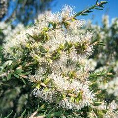 Melaleuoa lanoeolata flower