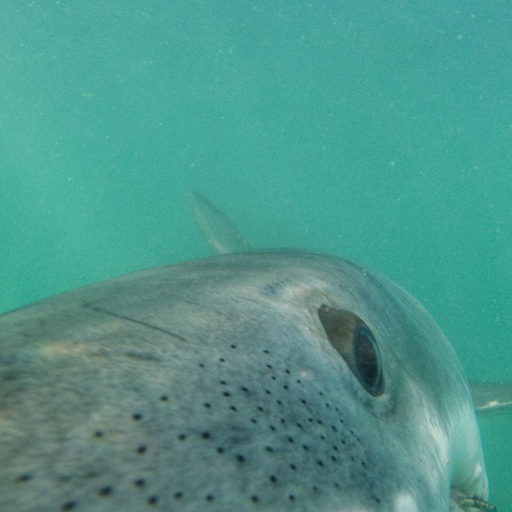 A sight our white shark conservation volunteers often seen from the cage. White sharks up close and personal.