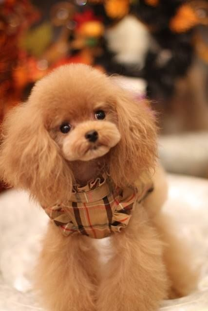 Apricot Toy Poodle. Subscribe to our newsletter created especially for Vista and Oceanside pet owners and visit our website to know more about our veterinary services.