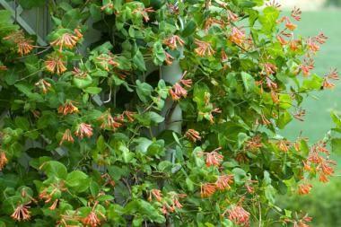 Caprifoglio Dropmore Scarlet  La Lonicera x brownii 'Dropmore Scarlet' (Caprifoglio Dropmore Scarlet) è una pianta rampicante decidua in climi più freddi o semi sempreverde in clima più mite. Questa specie di Lonicera offre un bellissimo fogliame blu verde e in estate arricchirà il tuo giardino di magnifici fiori tubulari, profumati, di color rosso scarlatto, che persistono a lungo sulla pianta. Dopo la fioritura compaiono frutti sferici a bacca rossi molto decorativi